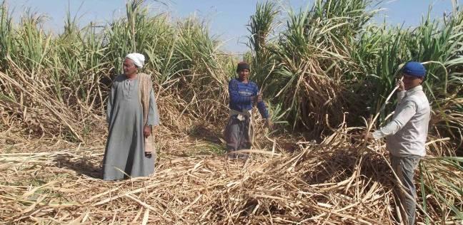 مزارعو القصب يجددون مطالبهم للحكومة بزياة سعر طن القصب
