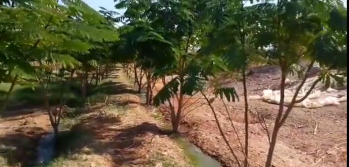 فيديو.. ري غابة شجرية في أسوان بالصرف المعالج.. وعامل: مساحتها 150 فدانا