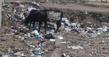 أبقار تتغذى على القمامة في «العامرية» بمحافظة الإسكندرية (صور)