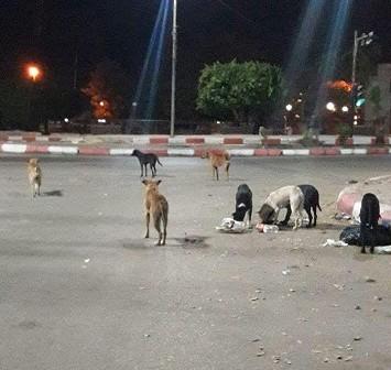 سكان في أسوان يشكون انتشار الكلاب الضالة على طريق الكورنيش (صور)