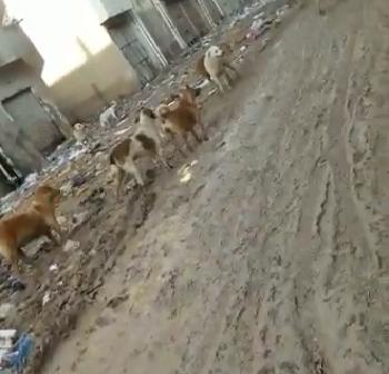 فيديو.. كلاب ضالة في شوارع بالعامرية.. وسكان: تهدد حياتنا