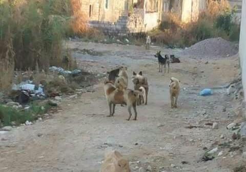 كلاب ضالة تعرقل حركة كبار السن بالسويس