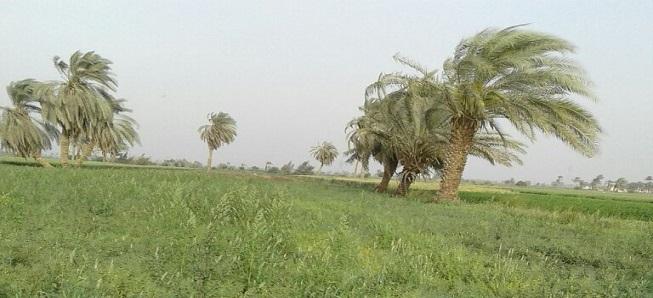 نحن لا نزرع القمح «حمص بس».. نقص مياه الري في «الروضة» بالمنيا (صور)