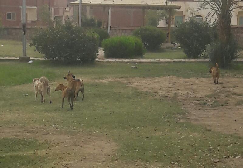 مطالب بالحد من انتشار الكلاب الضالة في أسوان