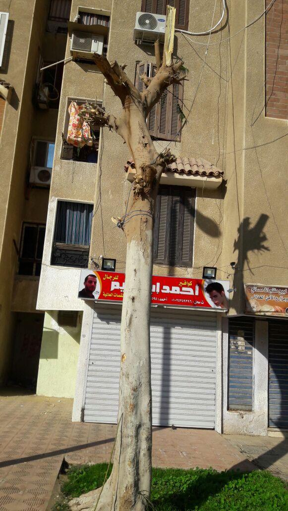 «مجزرة» للأشجار في منطقة إسكان الشباب بالتجمع الثالث (صور)
