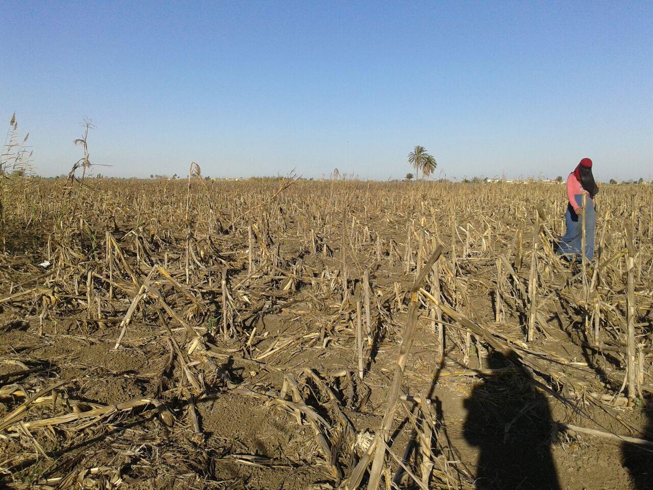 مشاجرة تشرد عائلة.. وتمنع حصاد «القطن» في إحدى قرى البحيرة