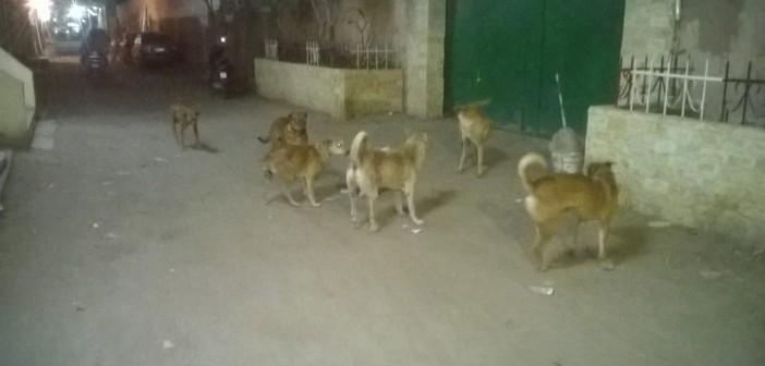 سكان «أرض اللواء» يشكون انتشار الكلاب الضالة..(صور)